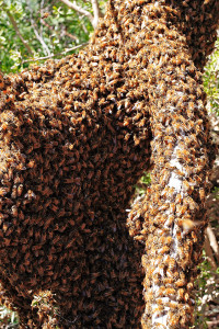 800px-Bee_swarm_on_fallen_tree02