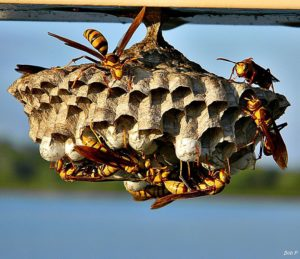 694px-Paper_Wasp_(Polistes_major)_(6134653740)
